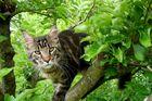 Tomcat Nepomuk on an apple tree :.: Kater Nepomuk im Apfelbaum
