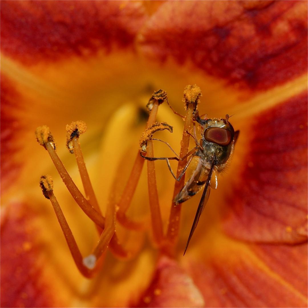 Ton in Ton: Gemeine Winterschwebfliege (Episyrphus balteatus) auf einer Lilie
