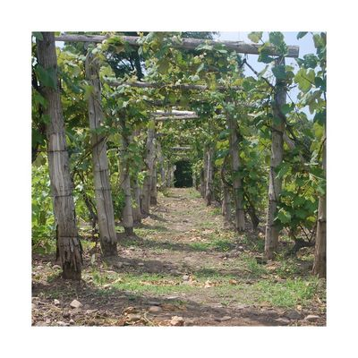 Tonnelle de vignes