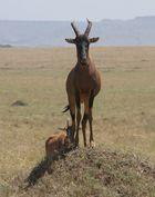Topi Antilope - Damaliscus lunatus topi