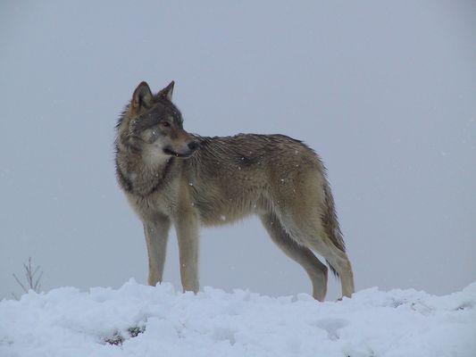 Torak in the snow: January 2007