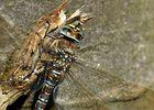Torf-Mosaikjungfer (Weibchen)