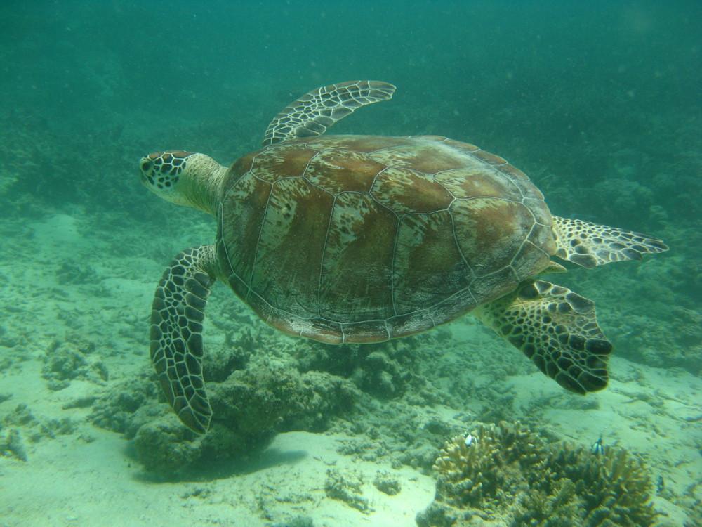 tortue à l'îlot Signal