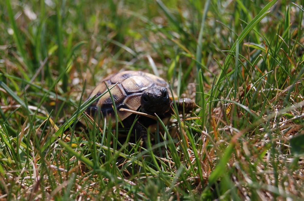 Tortue dans l'herbe