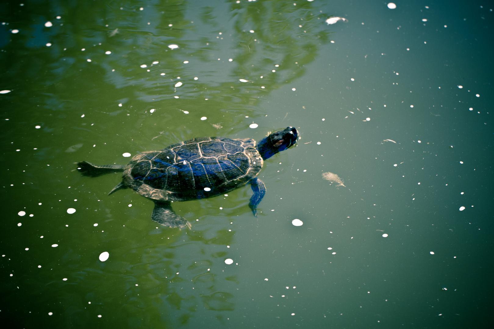 tortue d'eau