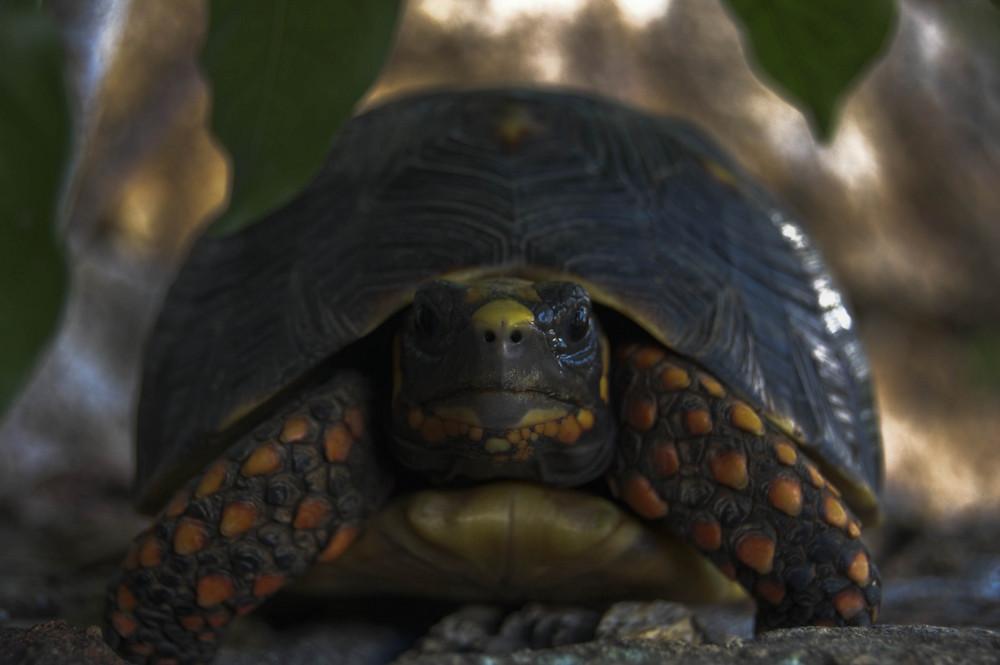 tortue des îles