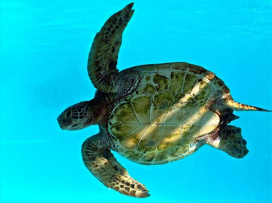Tortue verte (Chelonia mydas) Photographiée à l'aquarium des lagons à Nouméa