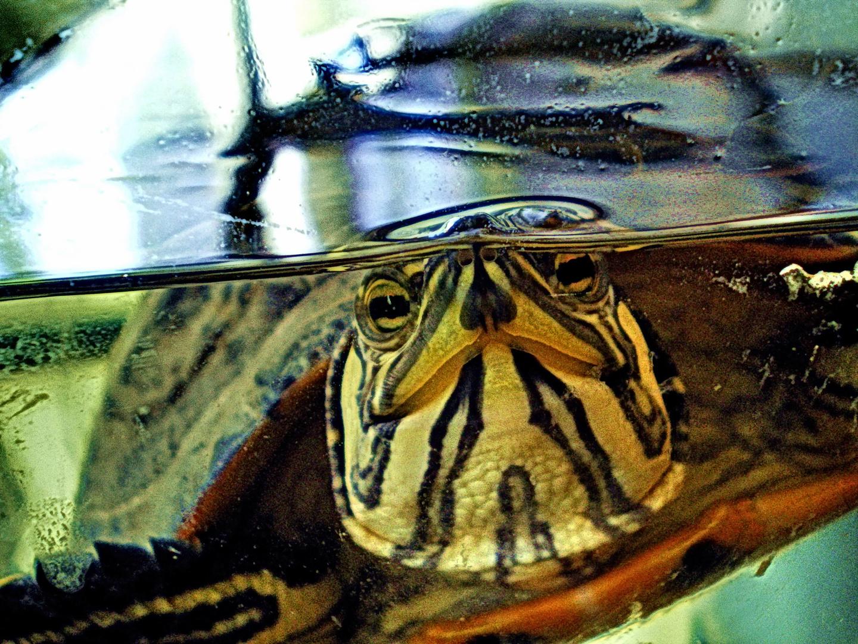 Tortuga acuática