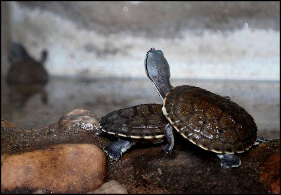 tortuga en acuario zoo cordoba