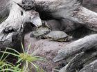 tortugas al sol