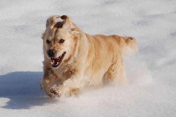 Tosca, neige en Savoie.