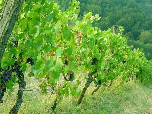 Toskanische Weintrauben