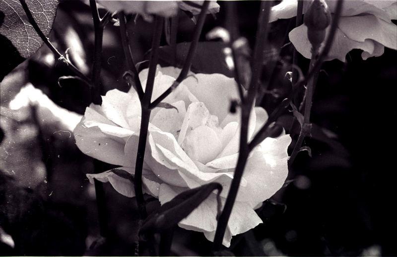 Toskanischer rosenschein