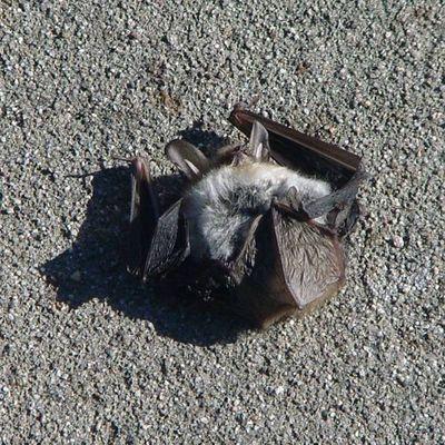 Tote Fledermaus
