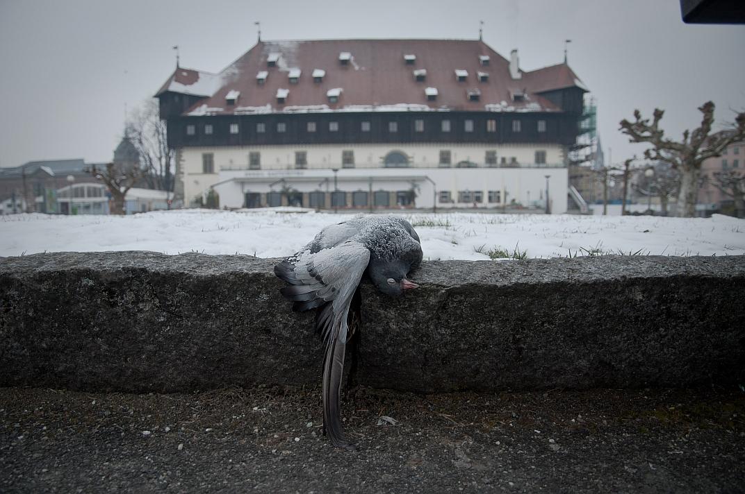 Tote Taube vor dem Konstanzer Konzilgebäude