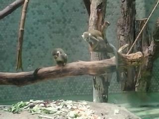 Totenkopf- Affenkinder beim spielen