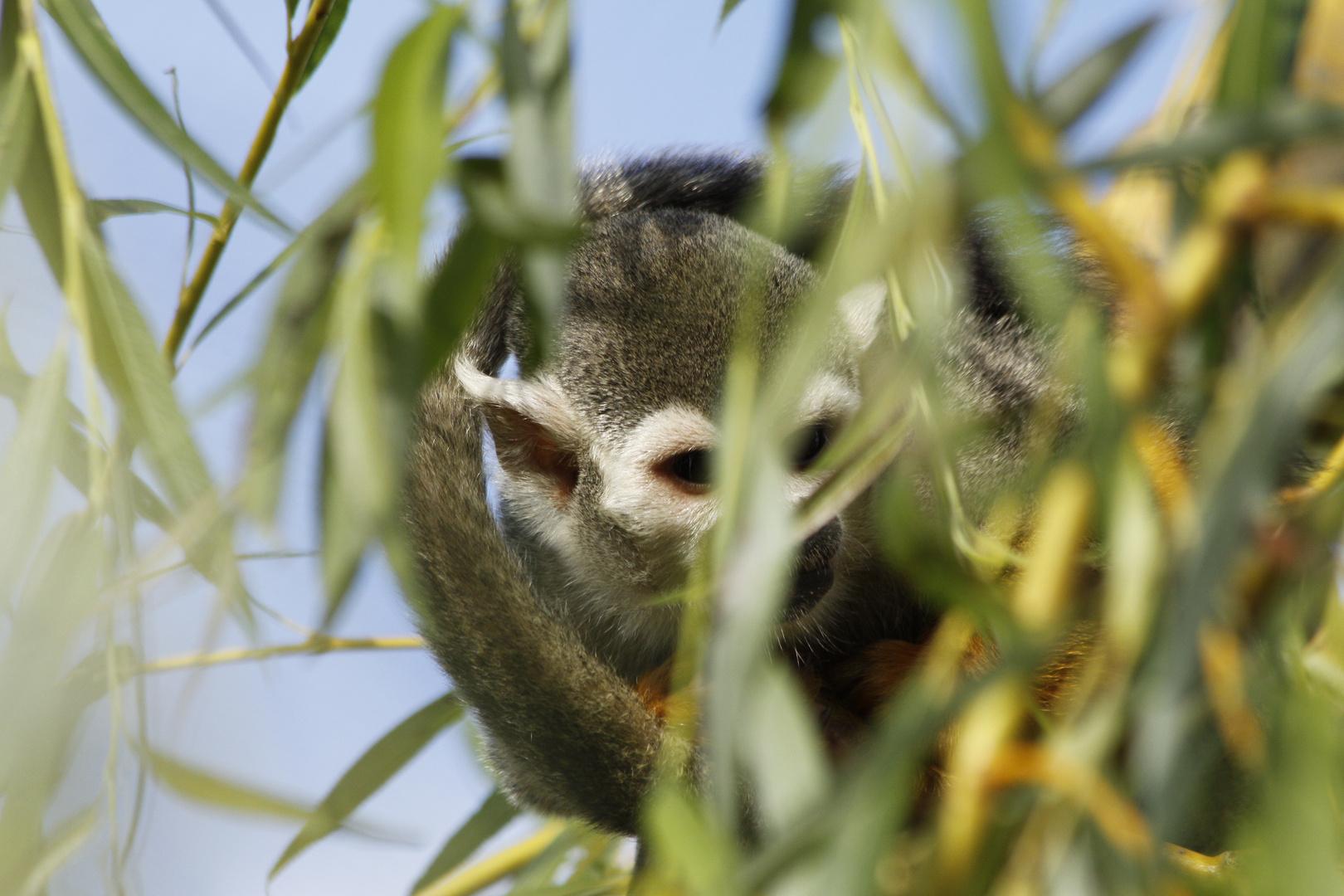 Totenkopfäffchen im Bambus
