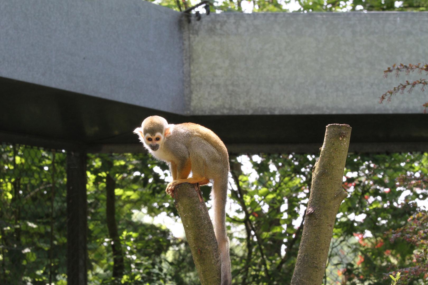 Totenkopfaffe im Safaripark Hodenhagen
