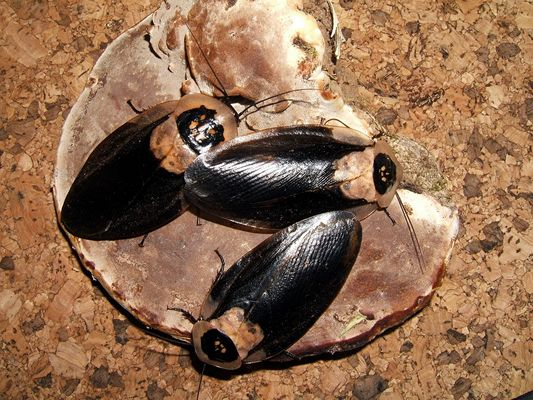 Totenkopfschabe - Blaberus craniifer (Black Wing)