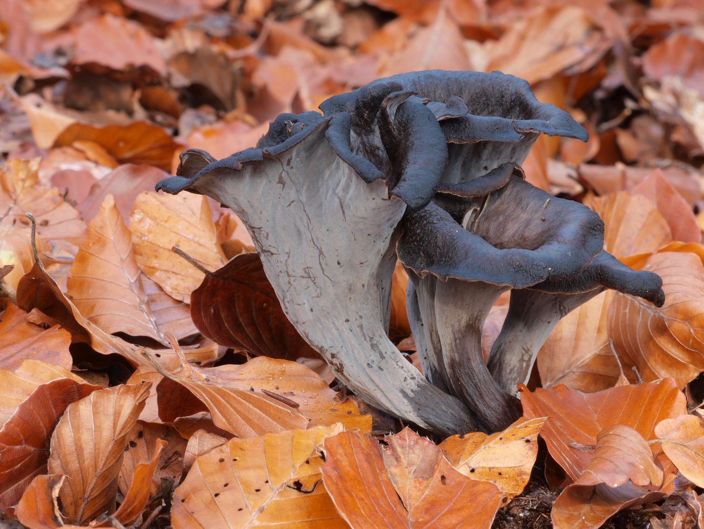 Totentrompeten, Herbsttrompeten
