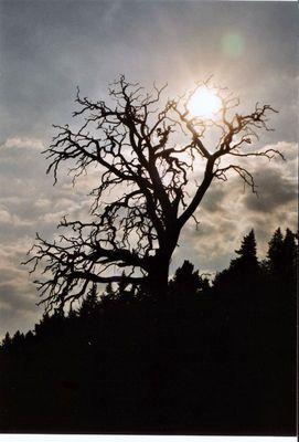 Toter Baum bei Sonnenuntergang