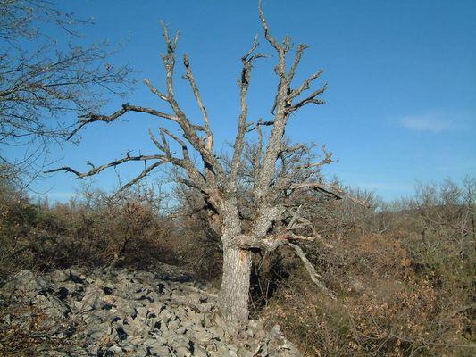 Toter Olivenbaum in der Provence