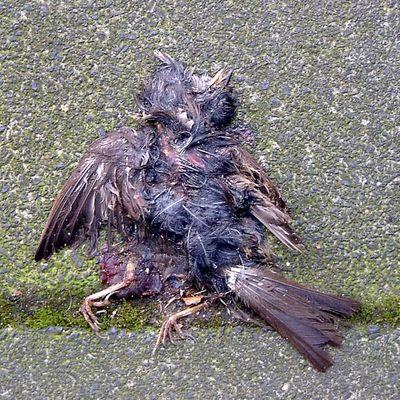 Toter Vogel auf dem Pflaster gelegen