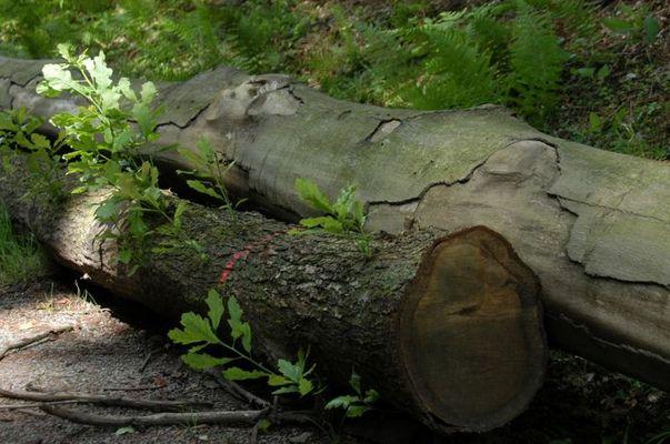 Totes Holz lebt...
