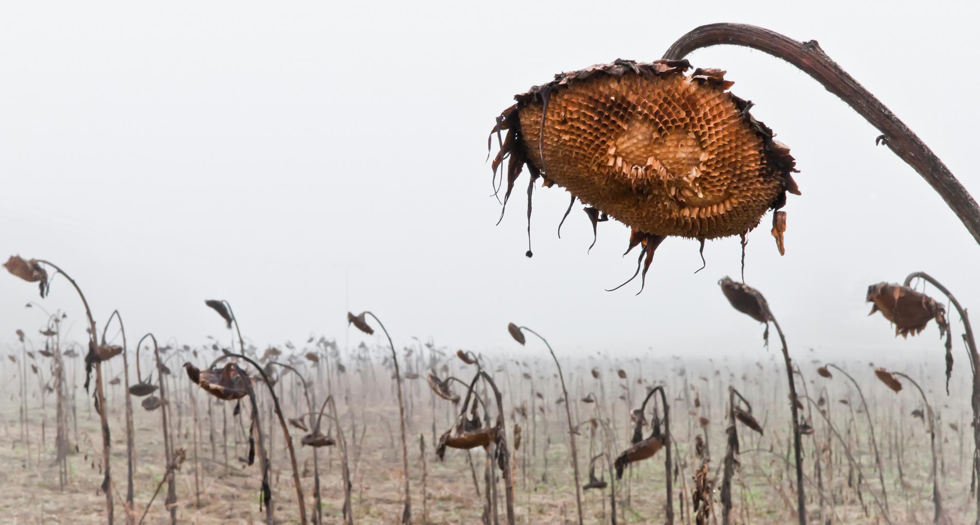 Totes Sonnenblumenfeld im Nebel