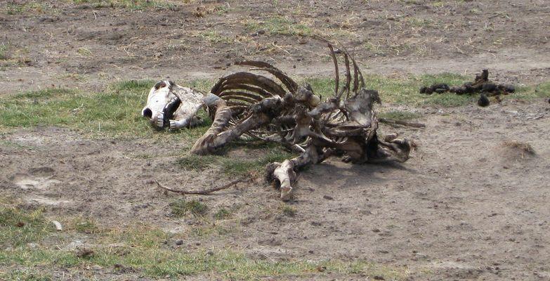 totes Zebra
