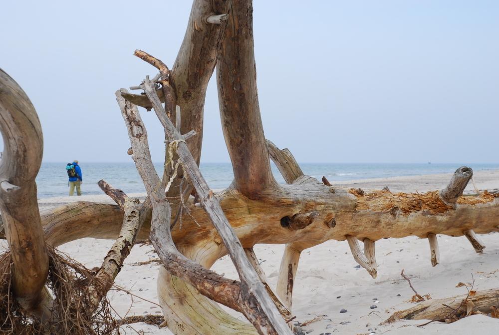Totholz am Darßer Weststrand