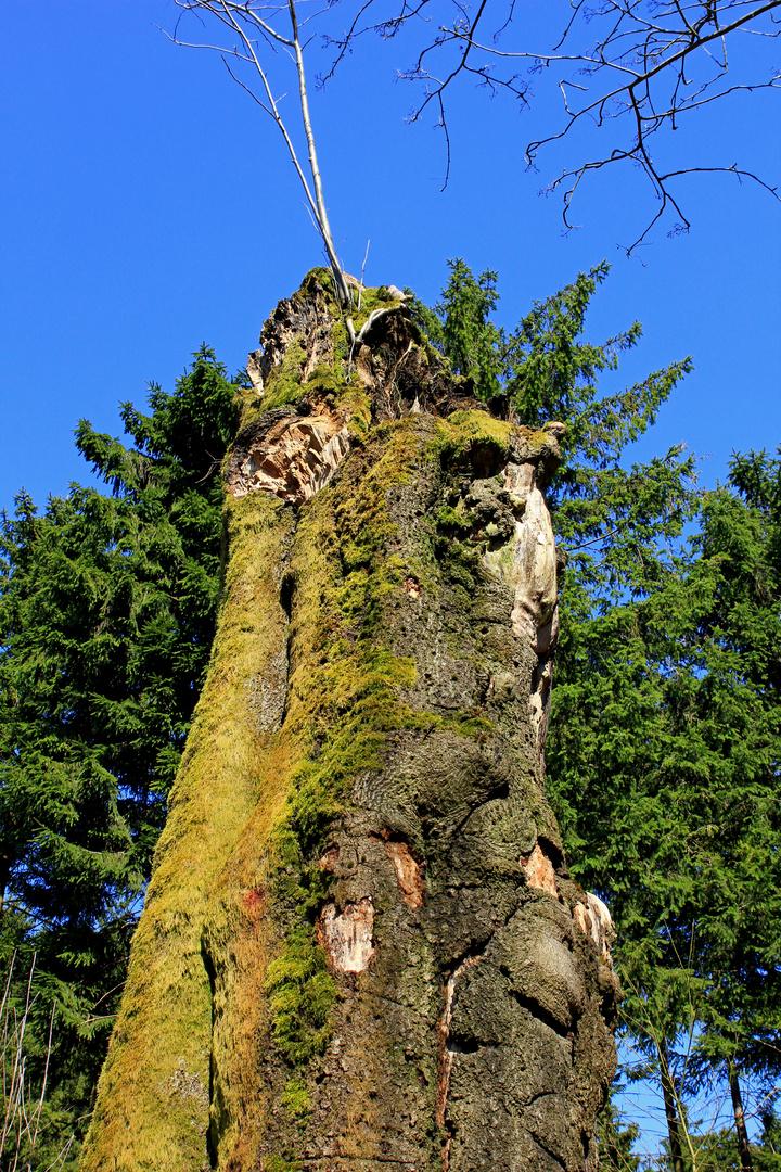 Totholz in der Nähe der Ginsburg (bei Hilchenbach-Grund) 1