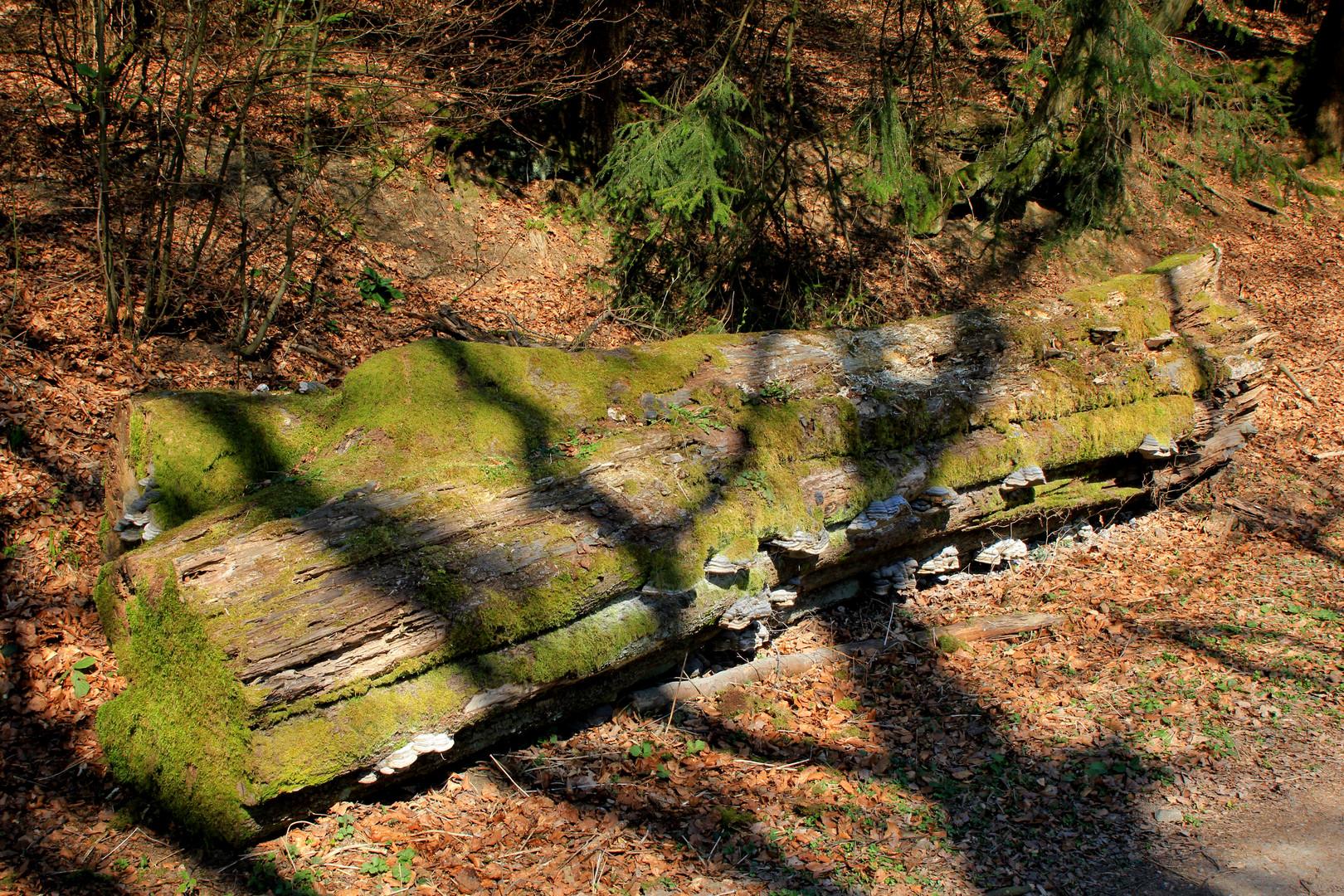 Totholz in der Nähe der Ginsburg (bei Hilchenbach-Grund) 2
