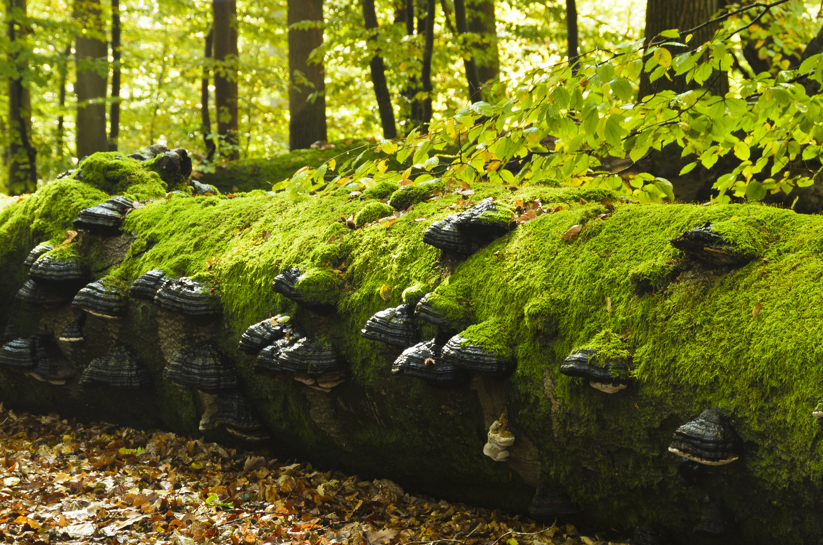 Totholz mit Zunderschwämmen