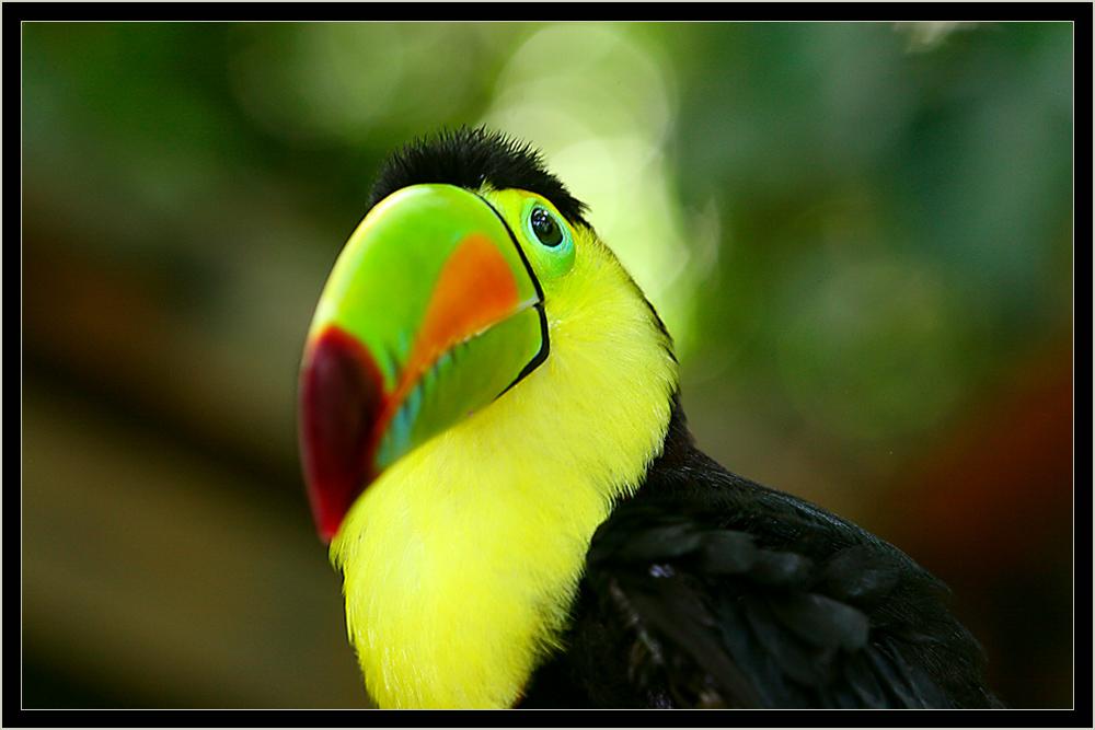 Toucan,