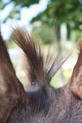 touffe de mon âne
