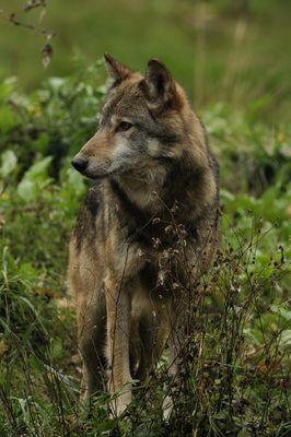toujours mon ami le loup