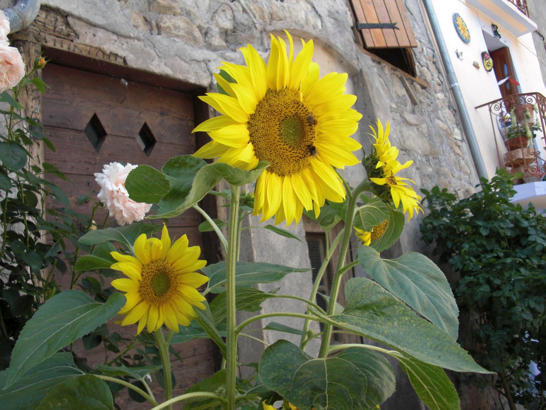 Tournesols Alpes de Hautre Provence