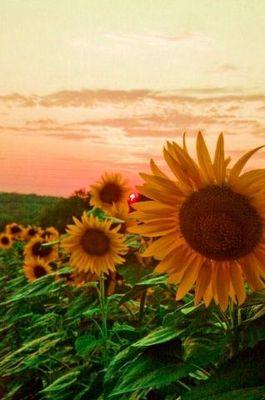 Tournesols au coucher du soleil