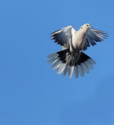 Tourterelle turque en vol