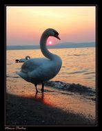 Tra cigni e tramonto
