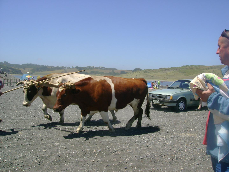 tracción animal