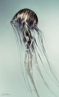 Tracé de méduse