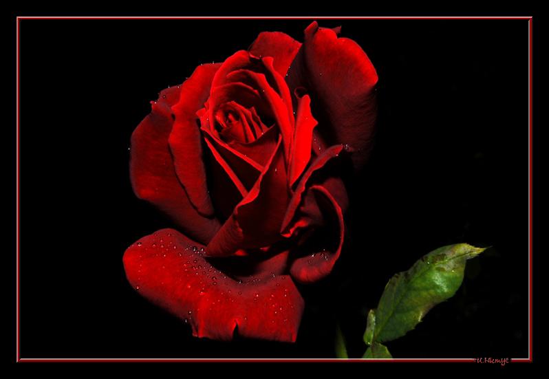 Tränen der Rose