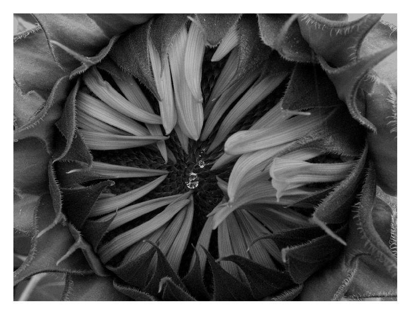 Tränen einer Sonnenblume.