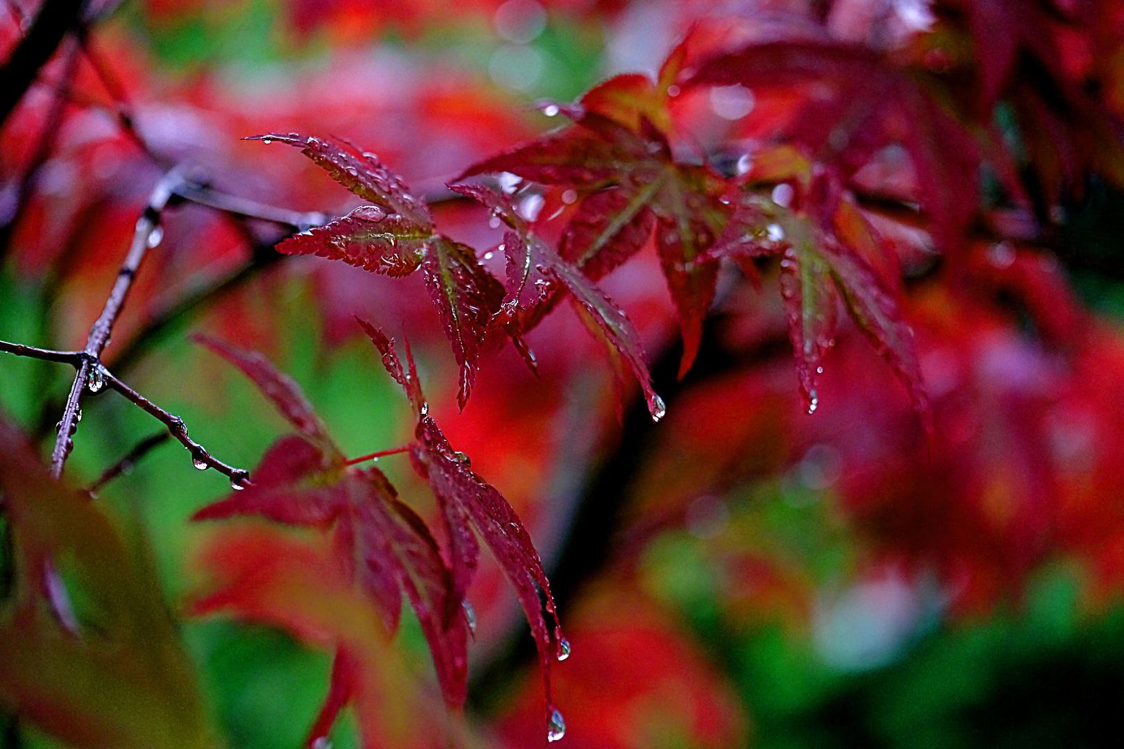 Tränen im Regen - ein Ahornzweig-.
