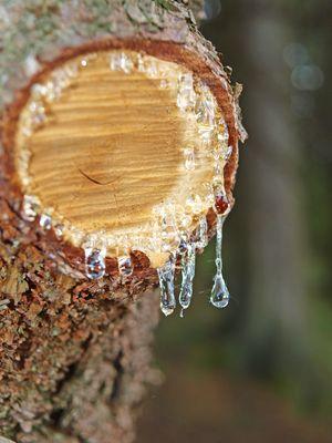 Tränenbaum