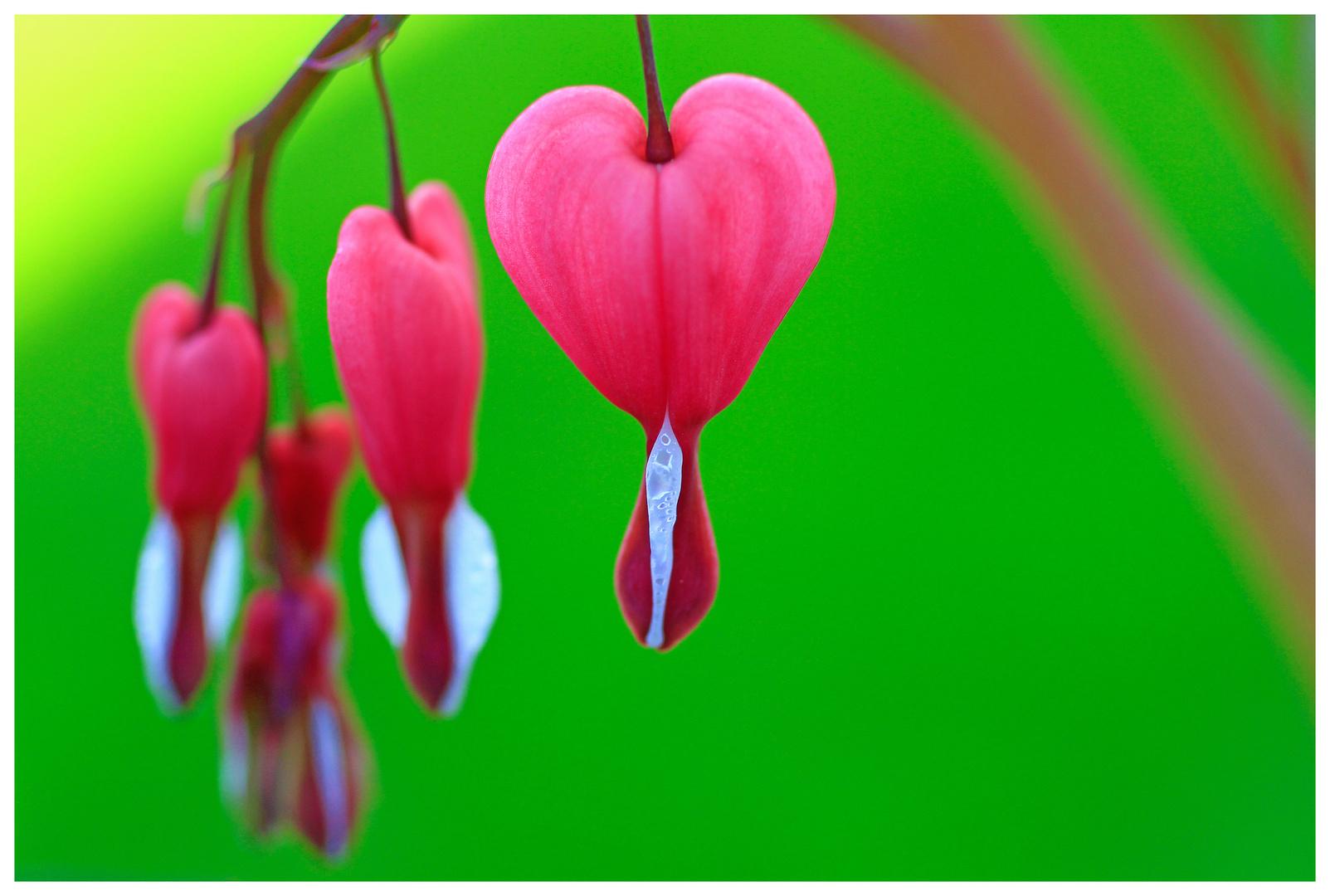 tränendes Herz
