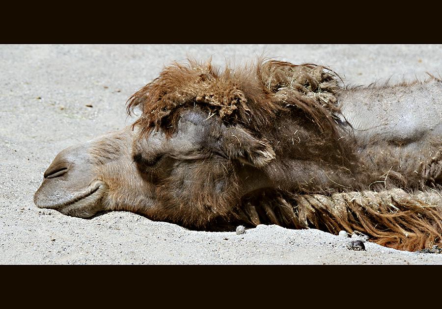 Träumen Kamele von tanzenden Sufis?