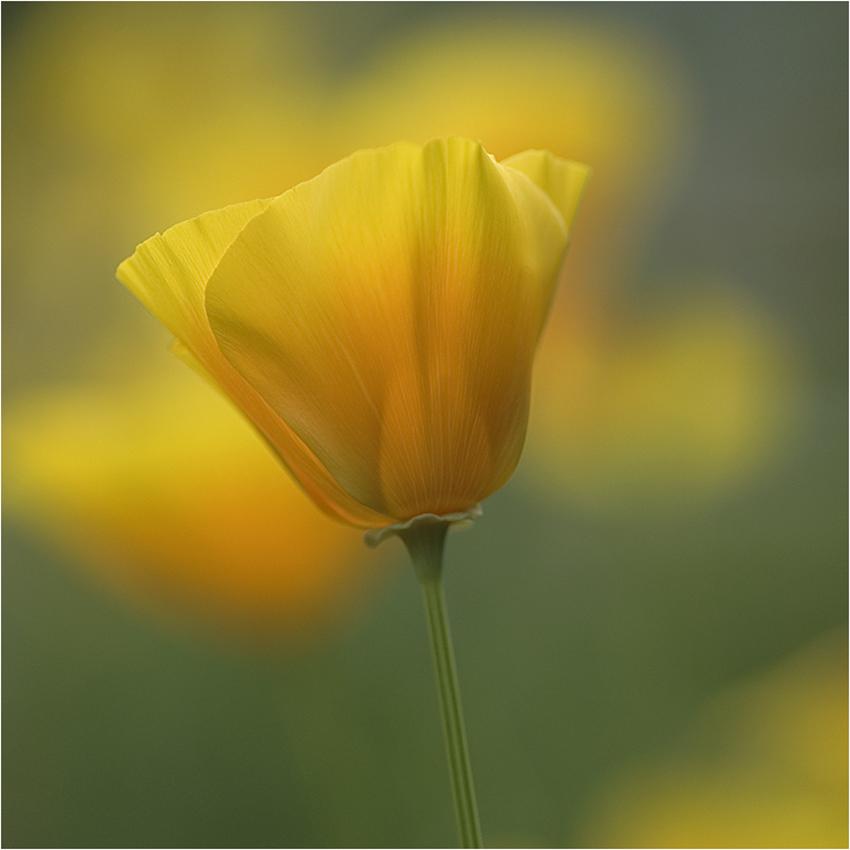 Träumerei in gelb # 1